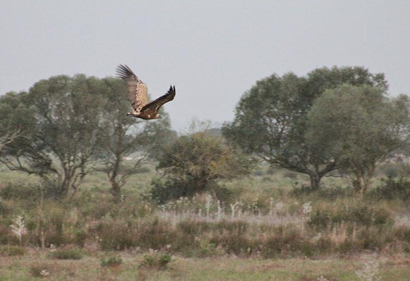 Unas de las aves en peligro de extinción que vive en Doñana, el buitre leonado.