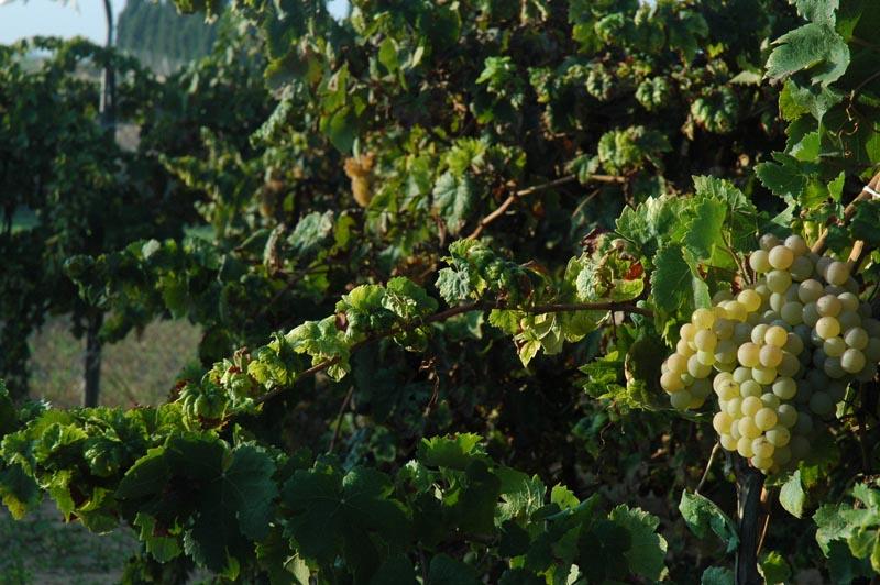 En el Condado de Huelva destaca la uva blanca zalema, propia de estas tierras.