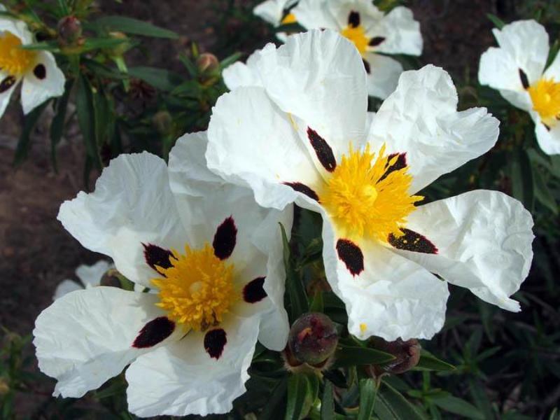 Flor de jara de Puebla de Guzmán.